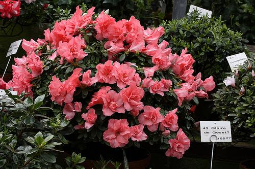 فروش گل آزالیا
