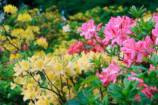 فروش گل ازالیا