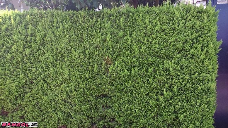 دیوار سبز کاج لاوسون طلایی