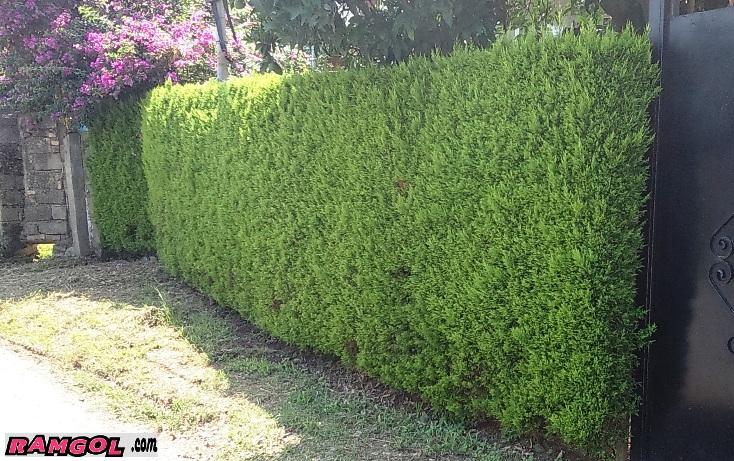دیوار سبز کاج لاوسون