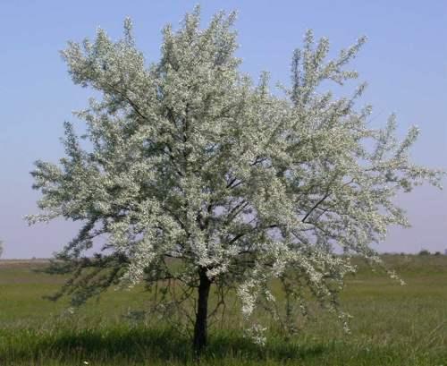 درخت  سنجد