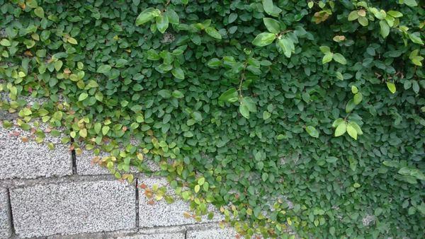گیاه چسبنده و بالا رونده به سطوح بتنی و سنگی پمیلا فیکوس انجیرچسب