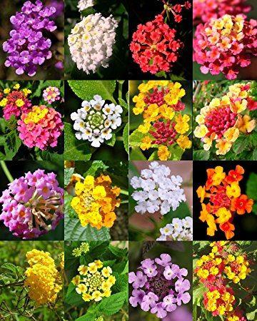 انواع گل شاهپسند