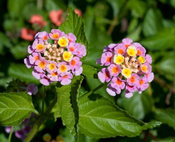 گل شاهپسند