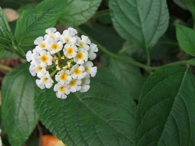 شاهپسند درختچه ای سفید